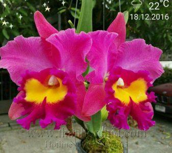 hoa lan catteya
