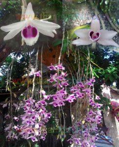 Tên các loài hoa lan