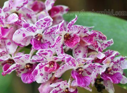hoa lan ngọc điêm