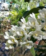 hoa lan dai chau trang