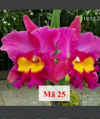 hoa lan cattleya