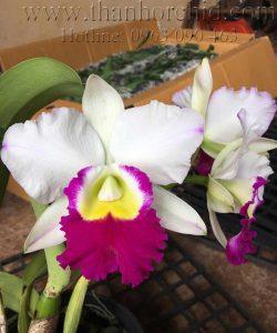 Hình ảnh hoa lan cattleya