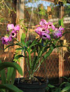 hoa lan dendro xuân
