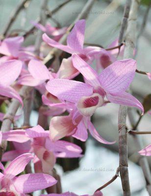canh hoa gia hac phap