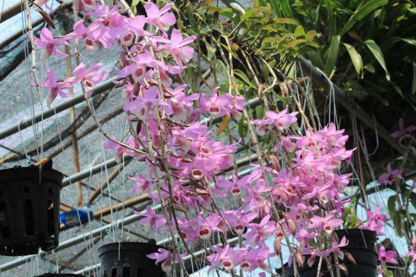 hoa lan gia hac phap