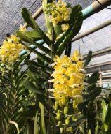 hoa lan hoang nhan