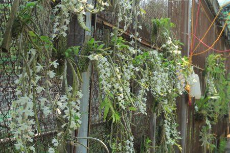 Hoa phong lan - hoàng thảo vôi