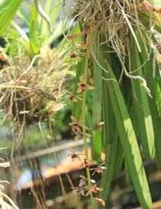 địa lan kiếm tiên vũ dài 50-60 cm