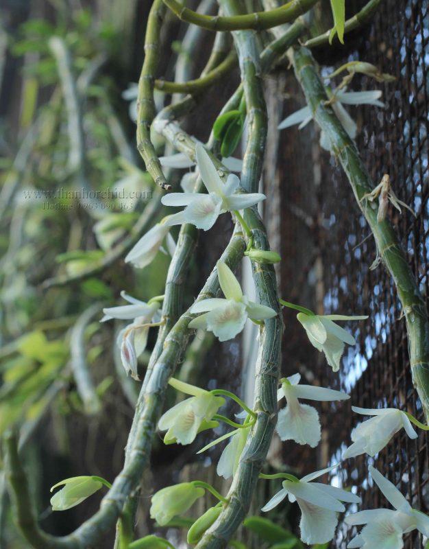 hoa lan hoang thao voi 8