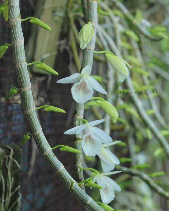 hoa lan hoang thao voi 6