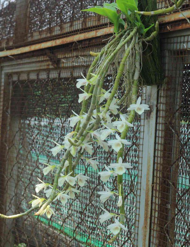 hoa lan hoang thao voi 2