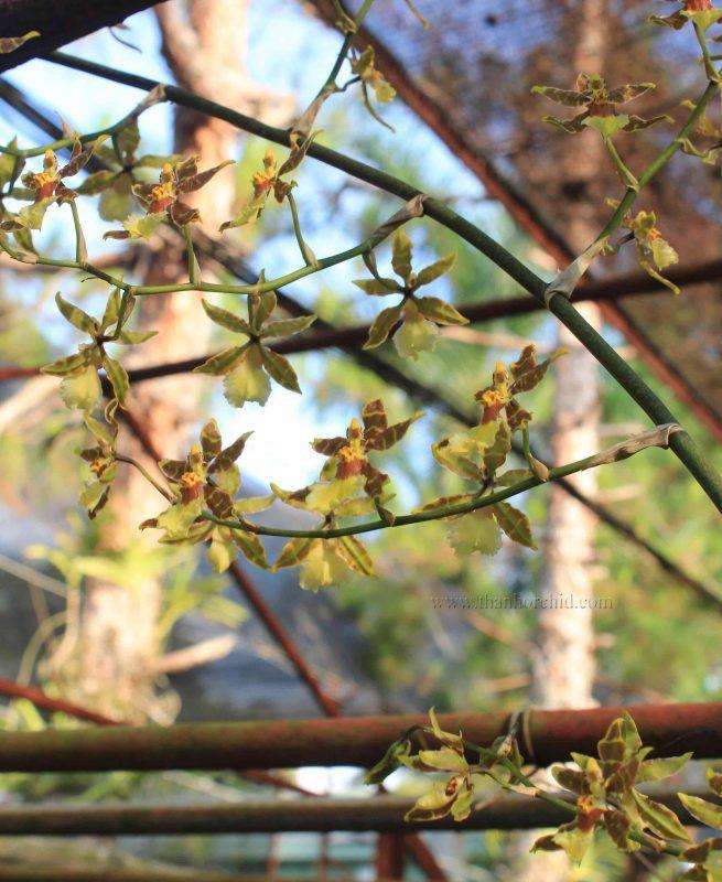 hình ảnh hoa lan vũ nữ 13