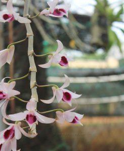 hoa lan giả hạc easo 1