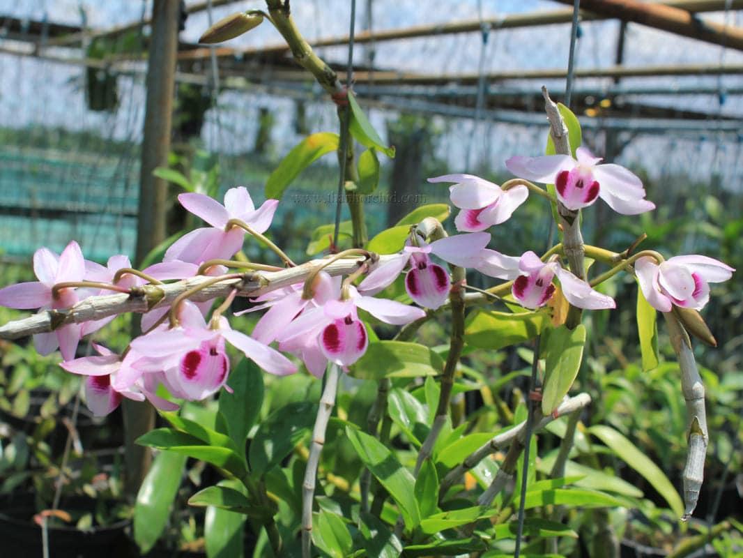 Hoa lan giả hạc easo 11
