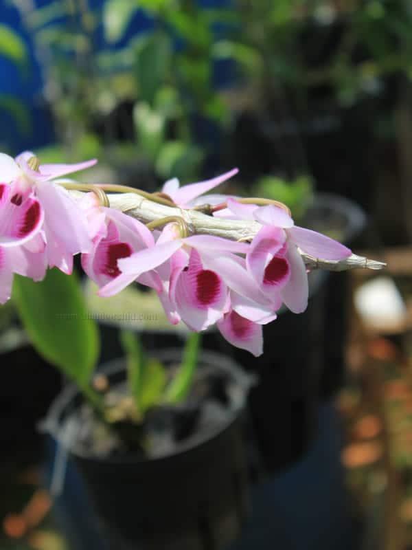Hoa lan giả hạc easo 9