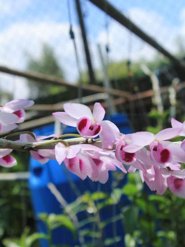Hoa lan giả hạc easo 8