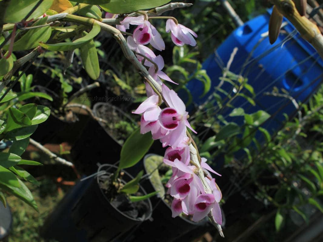 Hoa lan giả hạc easo 7