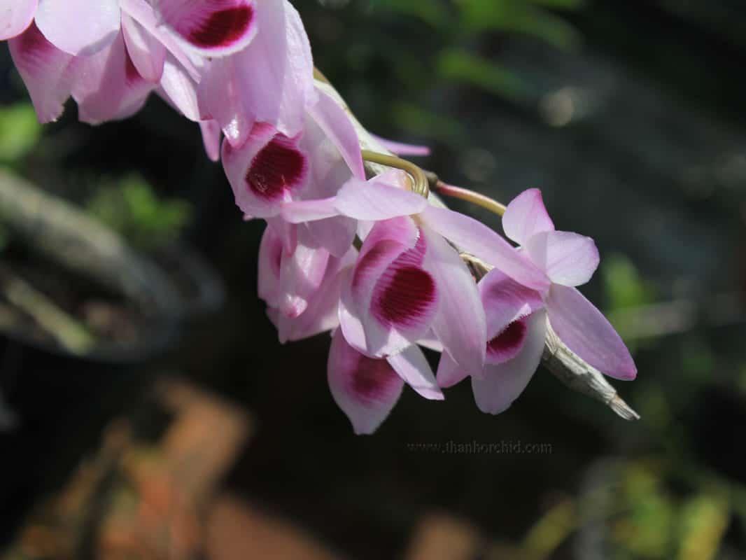 Hoa lan giả hạc easo 5