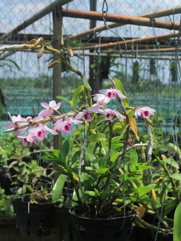 Hoa lan giả hạc easo 4