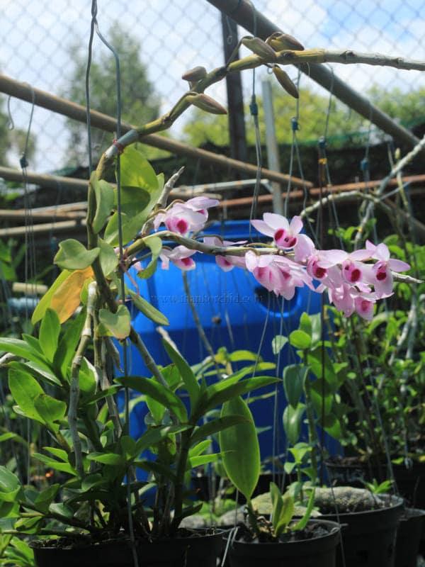 Hoa lan giả hạc easo 3