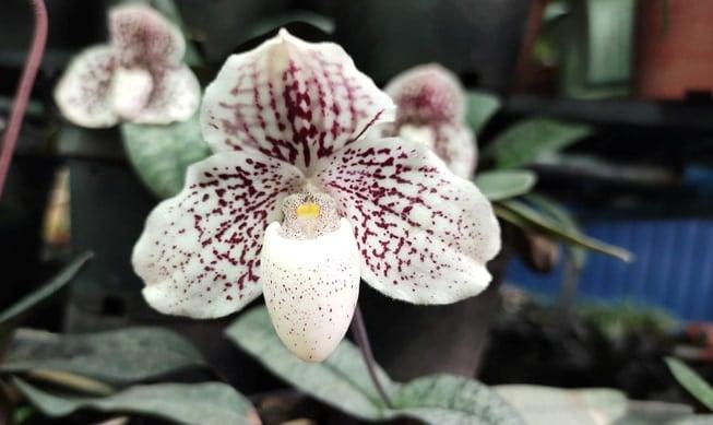 hoa lan hài nở