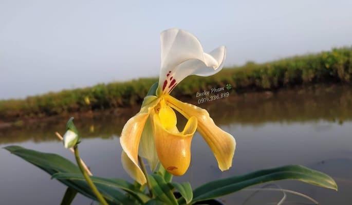 hoa lan hài đuôi công