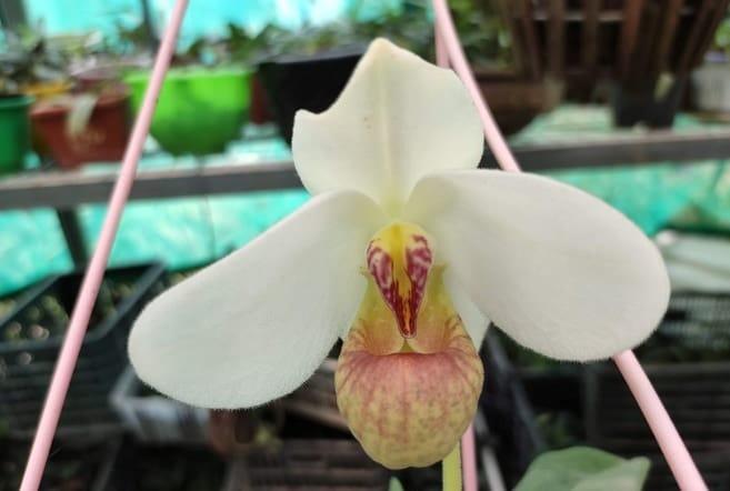 hoa lan hài dương
