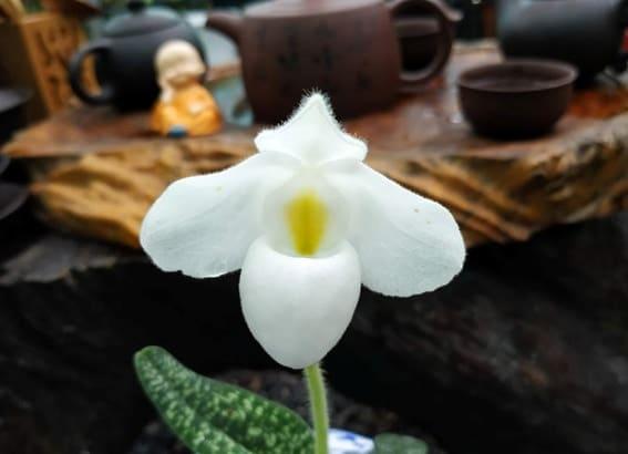 hoa lan hài hồng alba