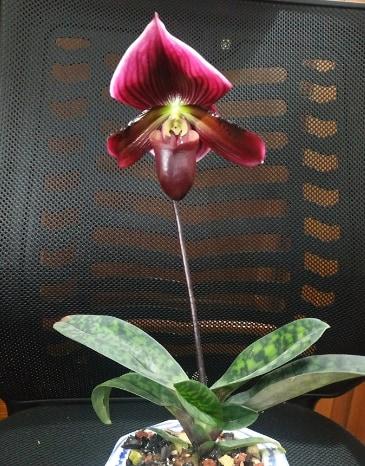 hoa lan hài maudiae đỏ