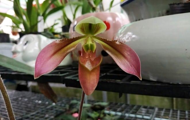 hoa lan hài táo paph.appaletonianum