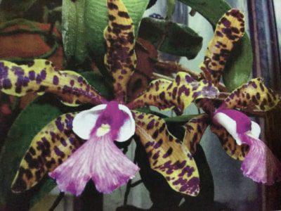 lan Cattleya aclandiae