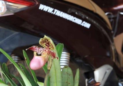 Hoa lan hài henry