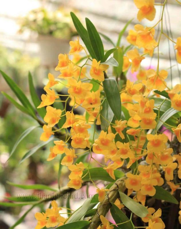 hình ảnh hoa lan kim điệp 3