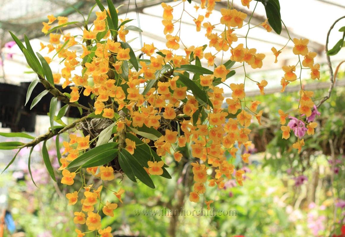 hình ảnh hoa lan kim điệp 4