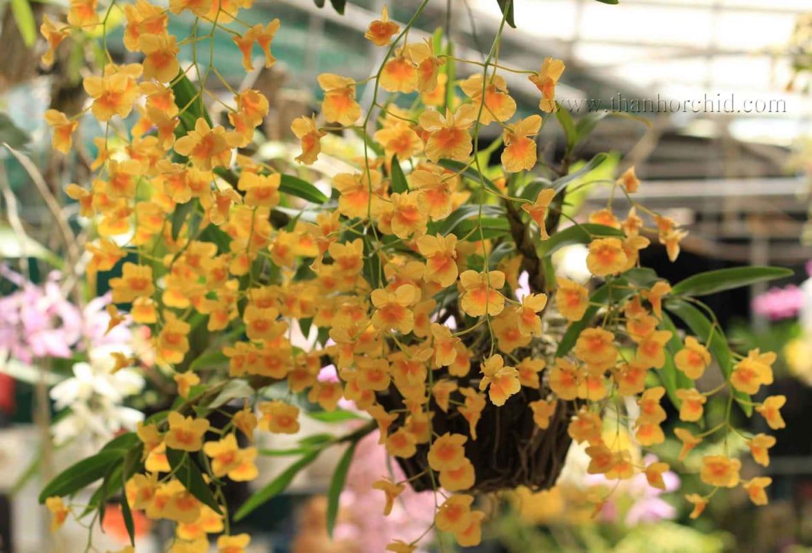 hình ảnh hoa lan kim điệp 5