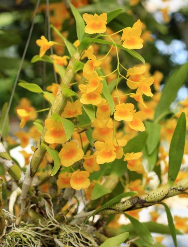 hình ảnh hoa lan kim điệp 8
