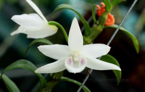 hoa lan phi điệp 5 cánh trắng phú thọ 8