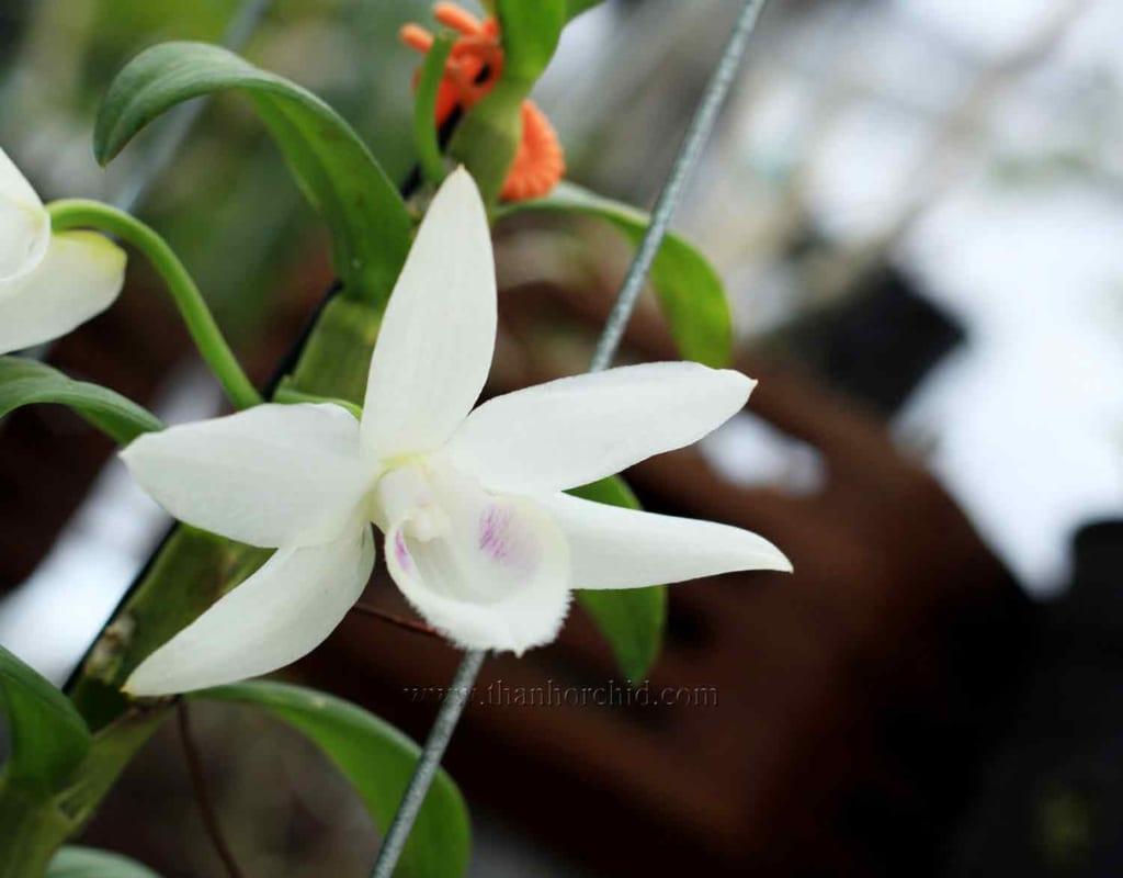hoa lan phi điệp 5 cánh trắng phú thọ 7