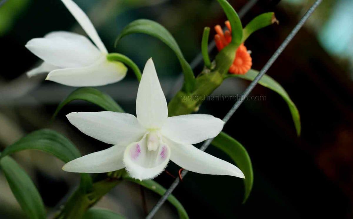 hoa lan phi điệp 5 cánh trắng phú thọ 6