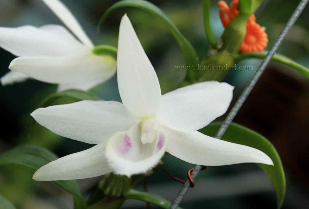 hoa lan phi điệp 5 cánh trắng phú thọ 5