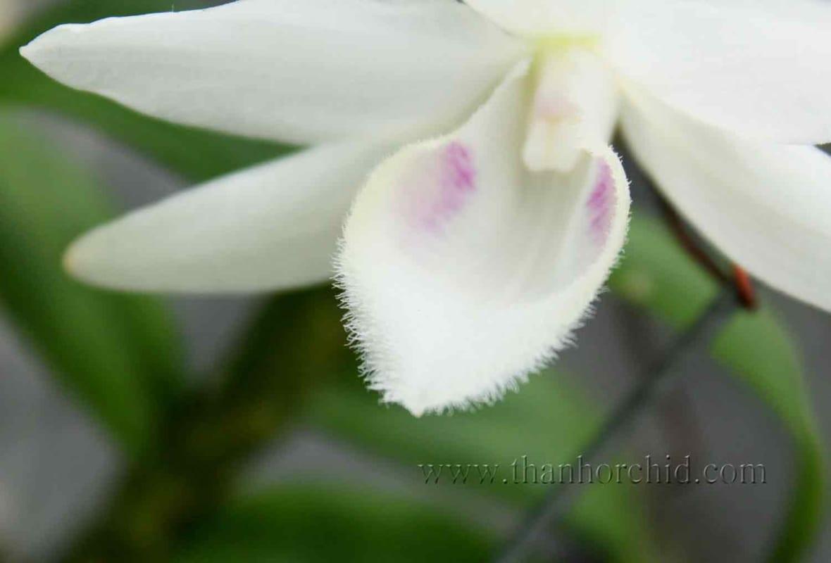 hoa lan phi điệp 5 cánh trắng phú thọ 4