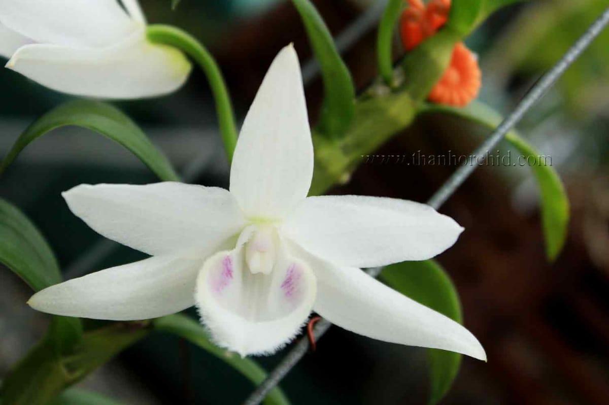 hoa lan phi điệp 5 cánh trắng phú thọ 3