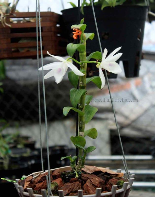 hoa lan phi điệp 5 cánh trắng phú thọ 2
