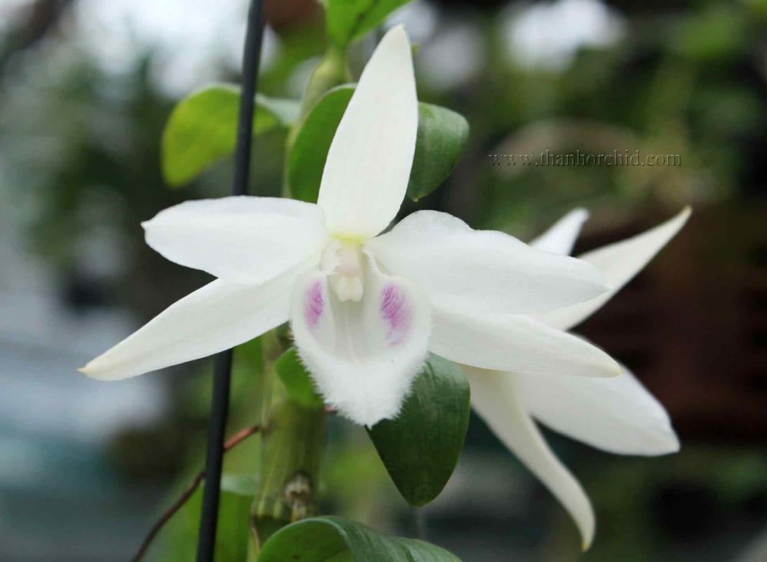 hoa lan phi điệp 5 cánh trắng phú thọ
