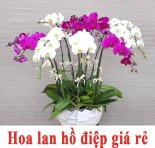 hoa lan hồ điệp giá rẻ