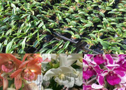 danh sách các loại hoa lan