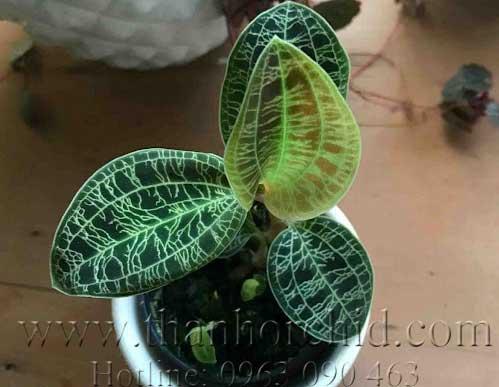 lan lá gấm - Ludisia dicolor