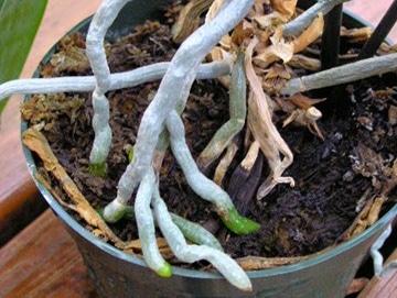 Bộ rễ lan hồ điệp Hình ảnh hoa lan hồ điệp - Phalaenopsis sp