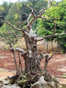 cây sanh Ficus benjamina L
