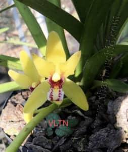 hình ảnh hoa lan kiếm vị hoàng 4
